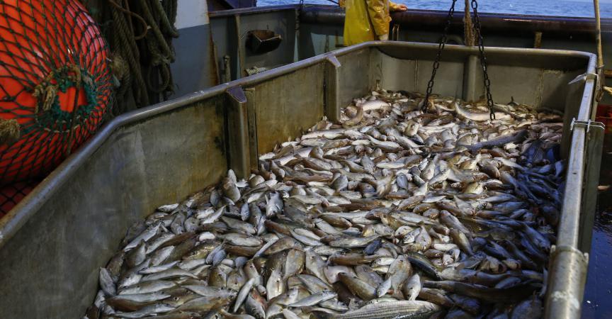 Baisse de 4% de la pêche maritime en Tunisie en 2013 - DR. Brahim LATRECH